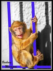 Amedio y no Amelio (raulestepona) Tags: mono bravo gibraltar estepona soe macaques macacos naturesfinest golddragon shieldofexcellence platinumphoto infinestyle diamondclassphotographer flickrdiamond mykindofpicturegallery betterthangood theperfectphotographer ralestepona dragongoldaward