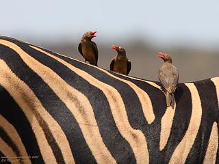 Three Oxpeckers