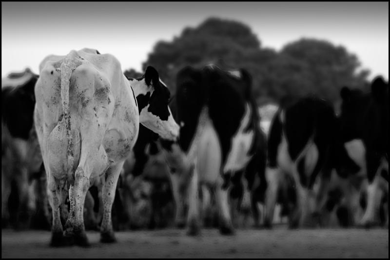 vaca2