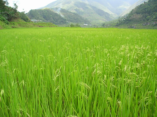 sea of green (banaue rice terraces, philippines)