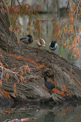 Ducks Asleep, Tree In Lake, Fairmont Park, Riverside, CA