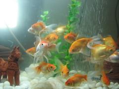 fish gold tank