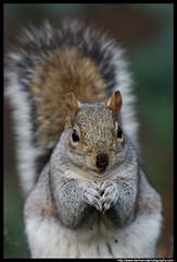 Grey Squirrel - praying ? (Dan Harrod) Tags: uk london nikon rat greenwich peanut feed teleconvertor d80 nikonstunninggallery squirreltree kenko14xteleconvertor nikon70200mm parkgrey britishwildlifeandnature