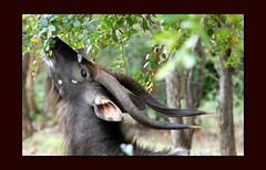 NYALA AT LUNCH (Irene2727) Tags: africa nature fauna southafrica bush wildlife horns antilope cubism nyala blueribbonwinner abigfave platinumphoto nikond40 anawesomeshot aplusphoto superbmasterpiece diamondclassphotographer flickrdiamond incrediblenature overtheexcellence goldstaraward