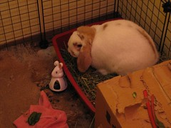 IMG_1181 (joandirk) Tags: rabbit cadbury lop hollandlop