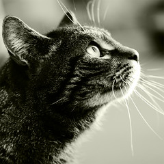 10306 (Dennis*) Tags: light bw white black cute eye cat canon nose eos eyes focus dof sweet tiger sharp stare katze 28 blick 30d tamron2875mm katzenaugen