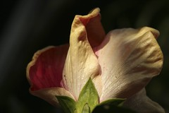 IMG_2529 (Flafotog) Tags: flowers plants macro aperture hibiscus canon5d horticulture macroflowers 100mm28macro floridabackyards