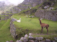 Get up! I'm talking to you! (Grabby Walls) Tags: travel peru machu picchu inca cuzco america cusco south llama valle perù sacra lama viaggi viaggio llamas sud sagrado viaggiare qosqo diamondclassphotographer flickrdiamond thebestofday gününeniyisi peruvianimages natureselegantshots spiritofphotography grabbywalls