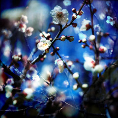 Plum tree (batabidd) Tags: pink blue white flower japan spring doubleexposure plum dreamy fakelomo plumtree blosom nami beaufitul newacademy trashbit digitaleditionaddicts