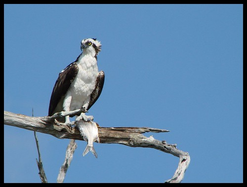 Osprey with Fish 4