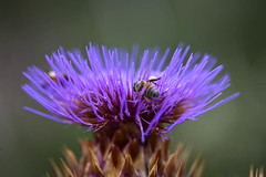 Thistle Thursday2