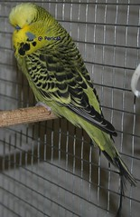 mascle-adult1 (periscat) Tags: budgerigar budgie