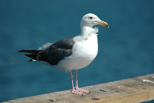 seagull in venice beach california