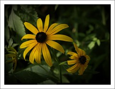 Flower 1 (anneeatsworms) Tags: flower yellow blackeyedsusan