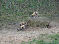 Puppy playtime (LadyRaptor) Tags: yorkshirewildlifepark yorkshire wildlife park doncaster ywp nature outdoors animal animals cute canidae canine canines den rocks african wild hunting painted dog dogs pups puppies litter pack play playing fighting chase chasing lycaon pictus
