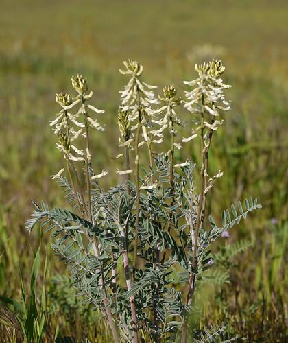 diablo locoweed - astragalus oxyphysus