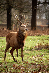 Watchful (Lucy Jamieson) Tags: red england nature animal woodland mammal stag dof britain wildlife horns surrey depthoffield deer explore richmondpark nikond40 flickraward lucyjamieson