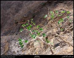 Vast Fig, Ficus vasta, Tree in Shihait, Taqah, Dhofar (Shanfari.net) Tags: plants plant tree nature lumix flora raw natural fig panasonic ficus lush oman