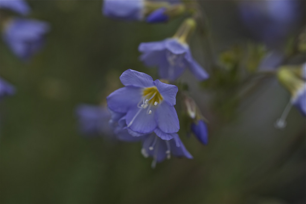 Great Polemonium, Royal Jacob's-ladder, Salmon Polemonium
