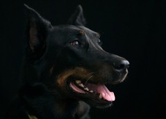 (sunsurfr) Tags: portrait dog black tongue background teeth ears beauceron sunsurfr