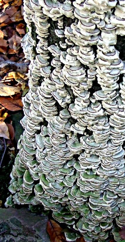 turkey tail tree