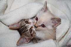 Total love (Sysy *) Tags: cats pets love animals sisters canon searchthebest sweet adorable kittens cuccioli gattini blueribbonwinner sysy81 400d canoneos400d megashot 17102007 imieiduepiccoliamori