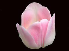 Light Blended Pink Tulip On Black (Chrisser) Tags: flowers ontario canada nature photoshop garden spring tulips gardening fourseasons bulbs closeups liliaceae blueribbonwinner masterphotos goldenmix floweronblack olympuscamediac765 onlythebestare