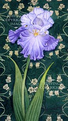 Blue and White Iris on Green, Print by Elizabeth Ruffing