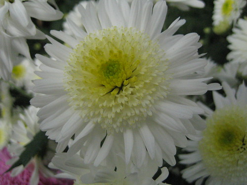 Chrysanthemum white