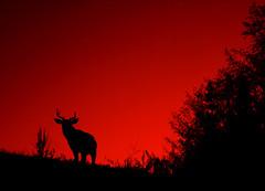 Red Deer* (Bhlubarber) Tags: red silhouette vancouver photoshop dusk f10 deer northshore gradient irresistiblebeauty davidniddrie wishihadmyslrwithmeonthishike