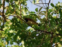 Violet-Backed Starling (Makgobokgobo) Tags: africa bird starling namibia zambezi katima caprivi katimamulilo zambeziriver cinnyricinclus cinnyricinclusleucogaster violetbackedstarling caprivistrip plumcolouredstarling zambeziriverlodge