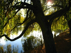 Monday - Willow (chicgeekuk) Tags: york uk sun laura reflection tree water campus university shine unitedkingdom trunk universityofyork kishimoto laurakishimoto laurakishimotoca yorkcampus