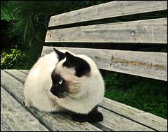 Cirillina sta in  panchina (honeycri) Tags: pet cat bench catwomen chat kitty siamese gatto chaton panchina gatossiameses cc100 lumixlx2 panasoniclx2 bestofcats honeycri cirillina mcb1909