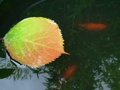 Duo dans l'eau (valkiribocou) Tags: autumn red orange fish france reflection water leaf eau clarity bamboo poisson bambou feuille impressedbeauty limpidité valkiribocou