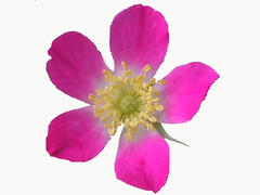 Rosa Glauca Rose On White (Chrisser) Tags: flowers roses summer ontario canada nature photoshop garden gardening fourseasons closeups rosaceae floweronwhite masterphotos olympuscamediac765