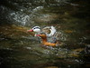 Torrent Ducks 3 (mlretter) Tags: nwecuador wvenezuela