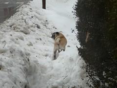annie realizes she's trapped (alist) Tags: winter cambridge dog snow ice weather puppy pug alist annie cambridgemass 02139 alicerobison ajrobison
