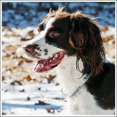 Darwin is happy with the snow (hz536n/George Thomas) Tags: winter dog white snow oklahoma ess darwin springer springerspaniel stillwater 2007 englishspringerspaniel canon30d canonef70200mmf4lusm pse5