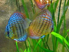 Diskusfische (KaiAlex81) Tags: blue fish green water aquarium colorful wasser neon fisch grn blau fishes bunt fische diskus schillernd reflektierend amazonasfische
