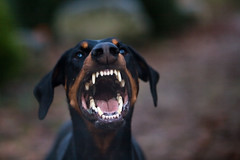 angry (sputnik-) Tags: dog teeth hund angry hunde attacking dobermann hundefotos hundebild hundefoto cynophobia