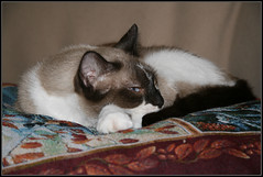 The Prince and his Pillow... (Digibug2) Tags: cats pets feline siamese telephoto spotted closeups gizmo catrescue rebelxti felinecloseupscats
