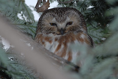 Aegolius acadicus (Northern saw-whet owl) (birdgal5) Tags: california slr nikon owl d200 aegoliusacadicus northernsawwhetowl 300mmf4d sb800flash 300mmf4dafs
