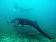 Mantas cruising in Miil Channel