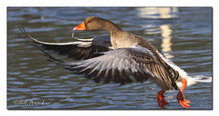 Greylag Touchdown (Recycled Teenager (NORFOLK IMAGES)) Tags: bird nature water birds thames river reading wildlife riverthames caversham wildfowl holidaysvacanzeurlaub diamondclassphotographer flickrdiamond natureselegantshots cavershampromenade