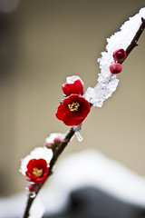 (yocca) Tags: winter red snow flower topf25 flora 100v10f 2008 ume japaneseapricot 50faves 10faves a feb2008 25faves aplusphoto