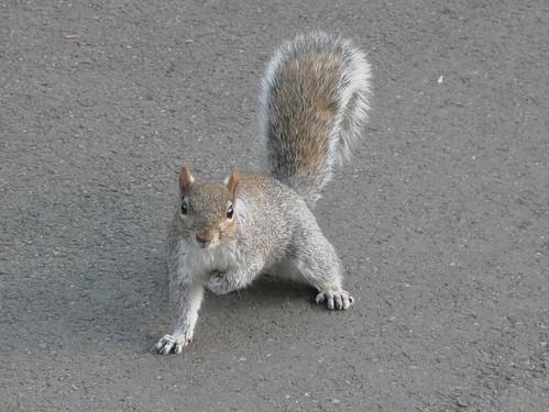 Grey Squirrel in Southwark Park