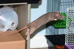 Emma - Girls Play Time 03-22-08 032 (KristyR929) Tags: pet rat explore rats