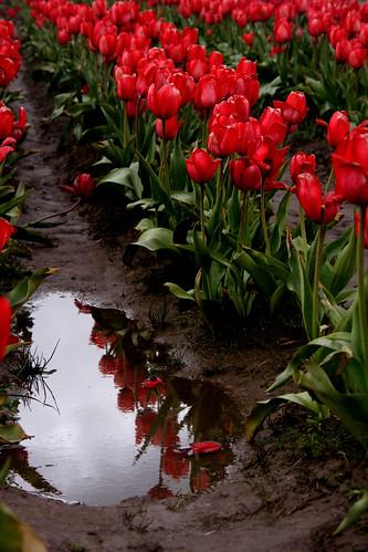 Tulip Farm Visit 3
