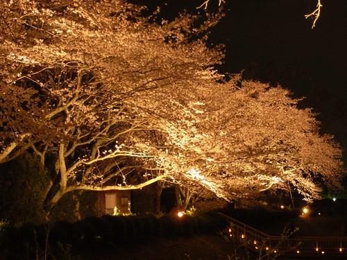 石舞台古墳(夜桜)-07
