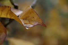 Autumn Leaves (mrdehoot) Tags: autumn fall leaves australia victoria autumnleaves porepunkah